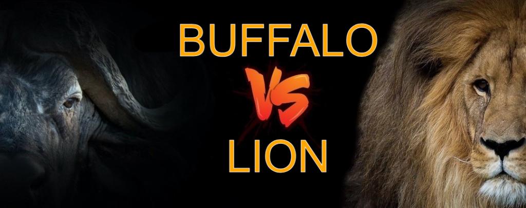 Lion Vs Buffalo Who Will Win
